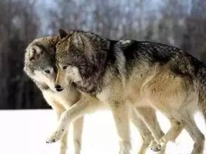 领悟:读懂母狼-也许可以影响你一生的故事